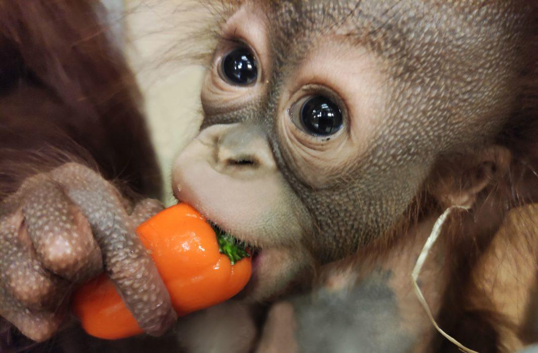 """Der jüngste Orang-Utan-Nachwuchs Bayu ist auf einer von acht neuen Motivkarten in der Serie """"Zooheld*in"""" zu sehen"""